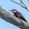 Pileated-Hawk-Bluebird-18-March-2017-0037