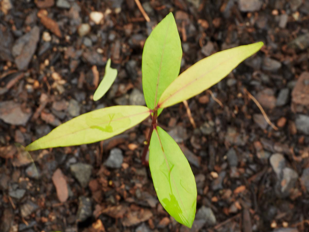 Syzygium floribunda (Weeping Lilly Pilly)