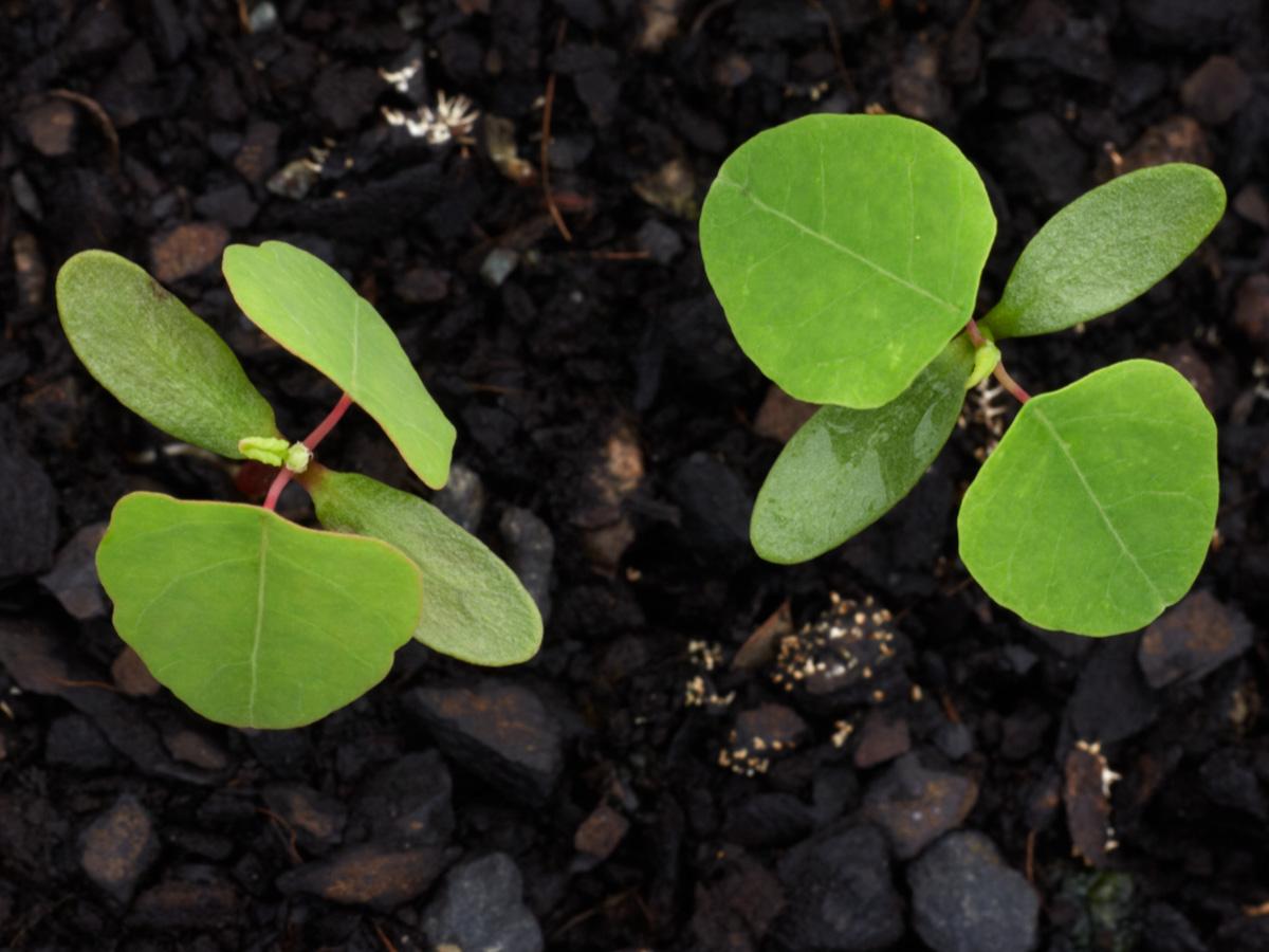 Homolanthus populifolious (Bleeding Heart)