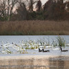 Tundra Swan and Canada Geese
