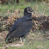 Black Vulture. This is what you often see  circling the road waiting for you to run out of gas so he can eat you.