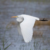 What could be more beautiful than a great egret in flight?