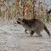 Rocky raccoon making a getaway when he saw me.