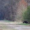 Black momma bear and cub