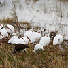 White Ibises. The dark ones are juveniles.
