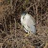 Adult Black-Crowned Night Heron
