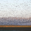 A wall of snow geese.