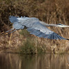 Great Blue Heron returns to his roost.
