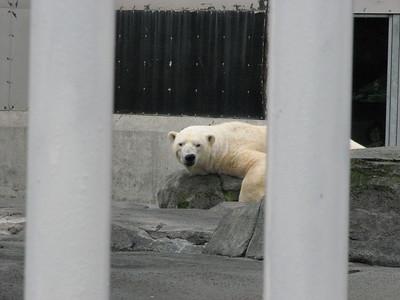 Polar Bears Alaska Zoo Aug 2011