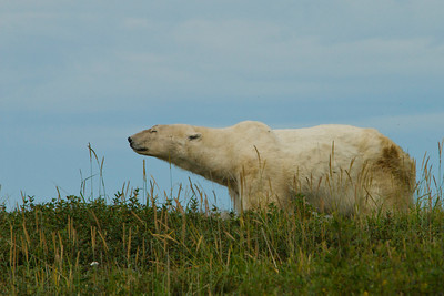 Skinny: A Lion in Summer Hudson Bay, Canada