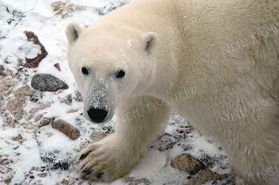 #548  A polar bear looks up at us peering out from the pull-down windows high up the side of a tundra buggy.