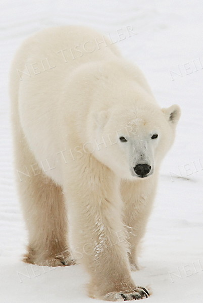 #522  Polar bear on west shore of Hudson Bay waiting for ice to freeze solid.  Picture taken during a 2006 tundra buggy tour at Churchill, Manitoba, Canada.
