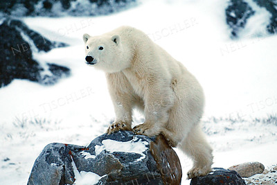 #535  An orphaned polar bear cub, now two years old, climbs a rocky mound to get a better view of us.