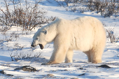 #525  A polar bear wandering somewhat aimlessly around area while waiting for ice to freeze solid on Hudson Bay.