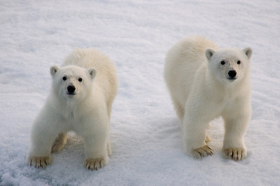 Cute polar bear cubs.