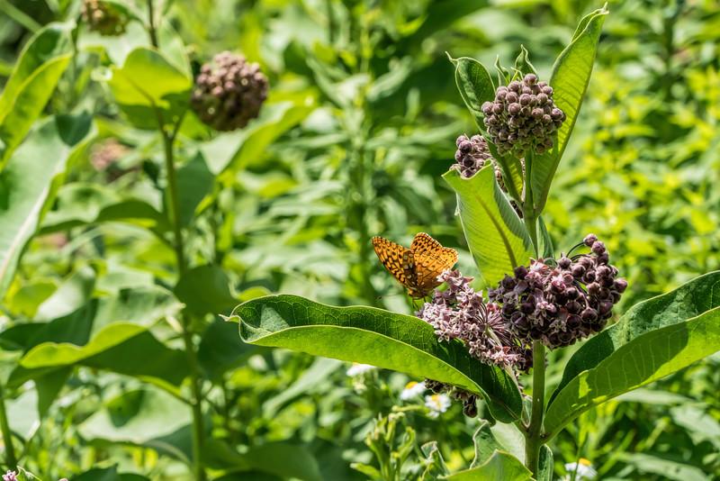 Fritillary (?) on common milkweed