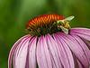 D211-2014  Honeybee on Echinacea purpurea<br /> <br /> Mill Creek Park, Dexter, Michigan<br /> July 29, 2014