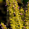Coleus blooms with bee