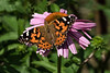 For 2017-06-28:  Painted Lady butterfly on a purple coneflower.