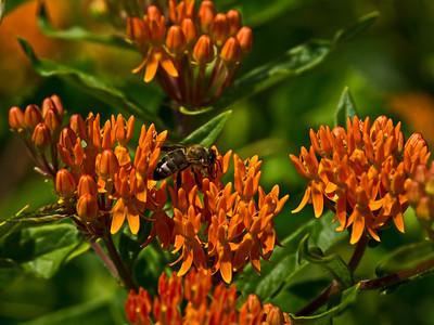 Milkweeds - Genus Asclepias
