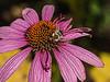 Late season bumblebee on purple coneflower.