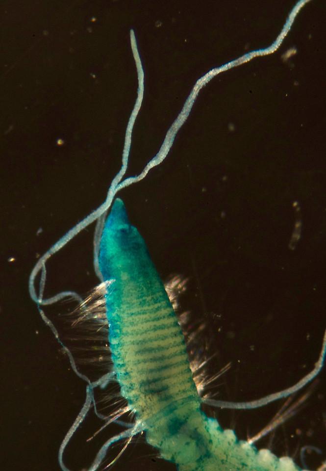 cf. Aphelochaeta phillipsi.