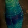 Praxillella gracilis anterior MG ventral staining pattern.