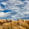 New Zealand Sheep, Christchurch port hills