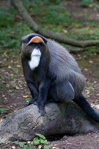 De Brazzas Monkey