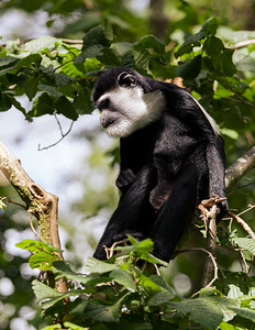 Black and White Colobus Monkey