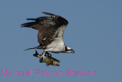 B91. Osprey with Big Black-bass. No post-processing done to photo, only cropped. Nikon NEF (RAW) files available. NPP Straight photography at noPhotoShopping.com