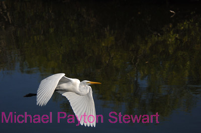 B145. Great Egret (White Flight). No post-processing done to photo. Nikon NEF (RAW) files available for proof. NPP Straight Photography at noPhotoShopping.com