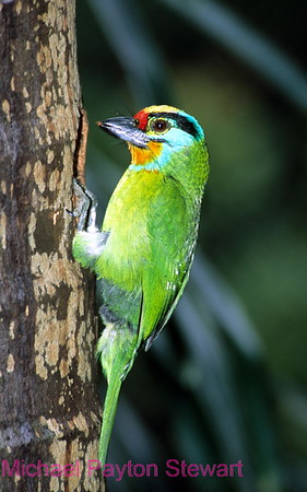 A151. Black Browed Barbet (Megalaima oorti) Nikon F100 camera, 80-400mm VR, Velvia 100F slide film and SB-800 flash. I guarantee that this photo was not digitally enhanced or changed from the original slide. NPP Straight Photography at noPhotoShopping.com
