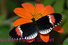 D8. Heliconius Erato Notabilis 2. No post-processing done to photo. Nikon NEF (RAW) files available. NPP Straight Photography at noPhotoShopping.com