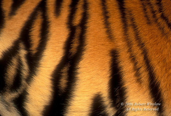 Detail of Fur on a Live Tiger (Pantera tigris tigris), controlled conditions