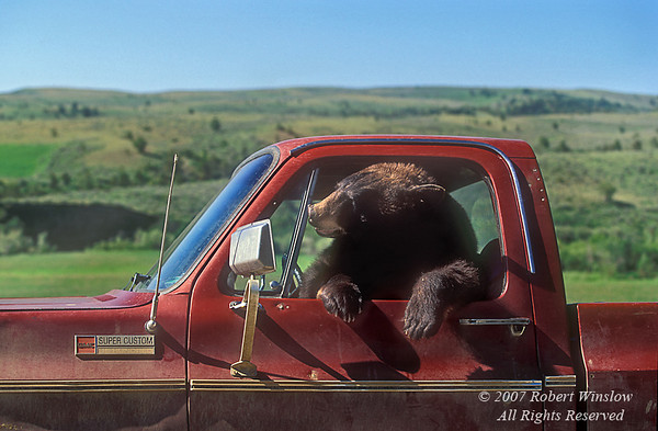 Black Bear in Drivers Seat of a Pickup Truck, controlled conditions