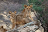 Two African Lion Cubs, Panthera leo, Samburu National Reserve, Kenya, Africa
