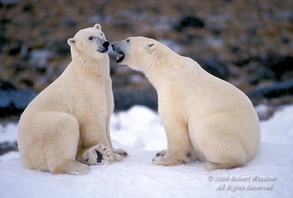 Two Polar Bears about to Spar, (Ursus maritimus), Near Churchill, Manitoba, Canada