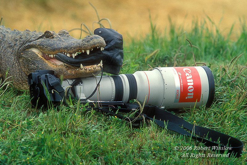 American Alligator, Alligator mississippiensis, with Boot and Canon Camera Gear, Controlled Conditions