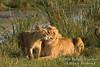 African Lions, Mother and Cubs,  Panthera leo, Masai Mara National Reserve, Kenya, Africa