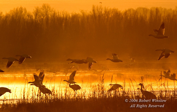 Morning Mist, Sandhill Cranes, Grus canadensis, and Snow Geese; Chen caerulescens, Bosque del Apache National Wildlife Refuge, New Mexico, USA, North America