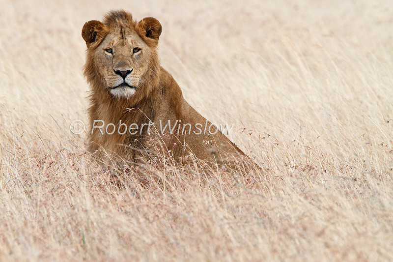 Male African Lion, Panthera leo, Red Oat Grass, Masai Mara National Reserve, Kenya, Africa