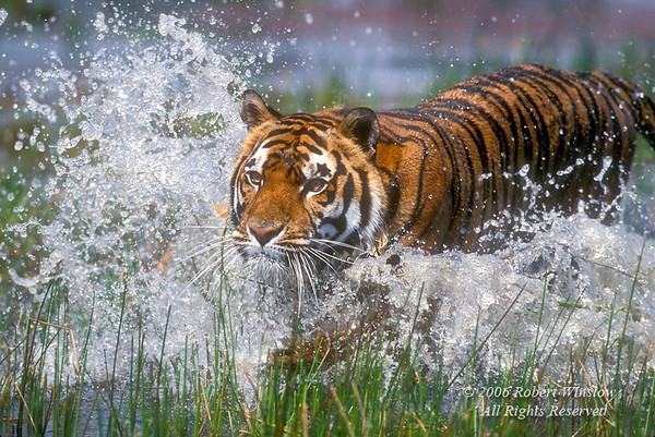 Tiger (Pantera tigris tigris), Running through Water, controlled conditions