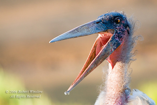 Marabou Stork (Leptoptilus crumeniferus), Mount Kenya National Park, Kenya, Africa, Ciconiiformes Order, Ciconiidae Family