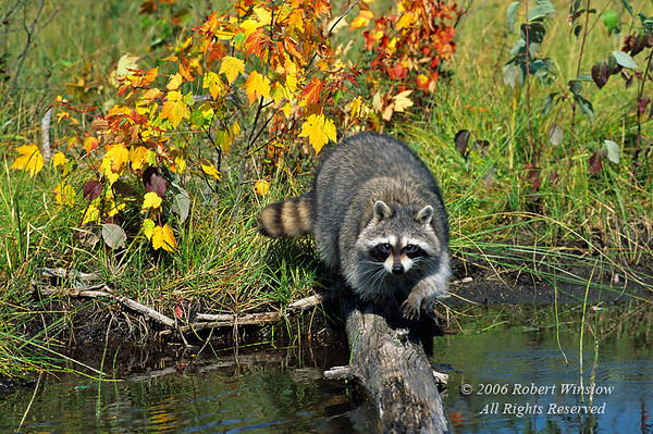Raccoon, Procyon lotor, at Water's edge, Autumn, Beaver Pond near Glacier National Park, Montana, United States, North America, Controlled Conditions