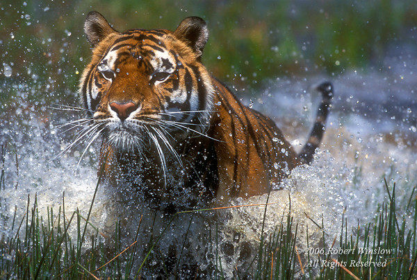 Tiger (Pantera tigris tigris), Running through Water, controlled conditions