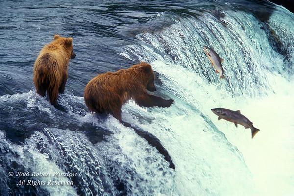 Young Alaskan Brown Bears, Ursus arctos middendorffi, Trying to Catch Salmon, Brooks Falls, Brooks River, Katmai National Park, Alaska