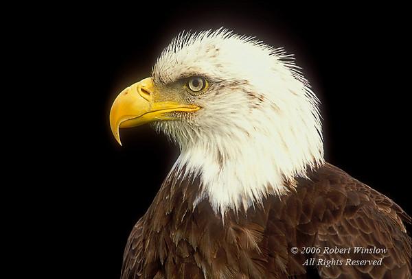 Bald Eagle, Haliaeetus leucocephalus, Controlled Conditions