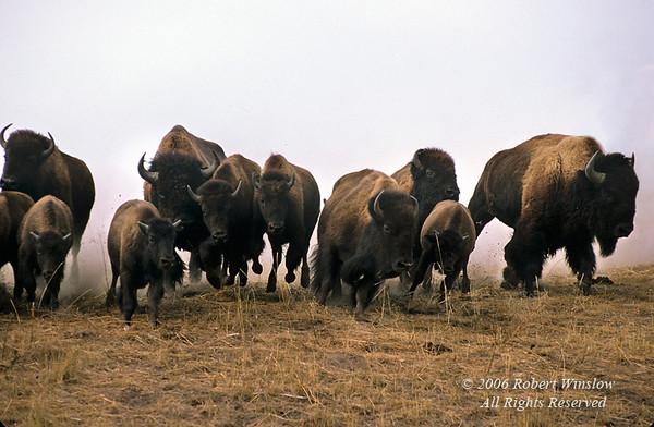 Bison or American Buffalo, Bison bison, Stampede, Round-up, National Bison Range, Montana, (Bison bison)