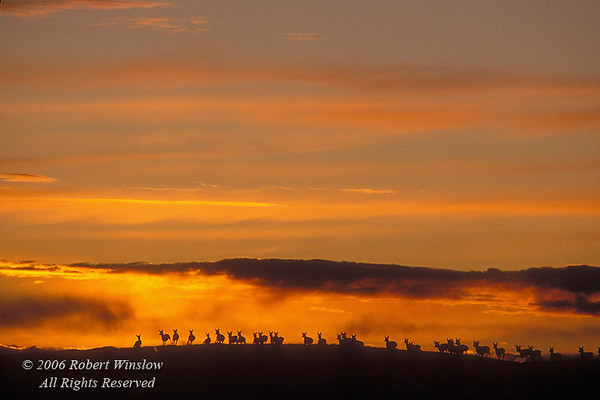 Herd of Pronghorn Antelope (Antilocarpa americana) at Sunset near Pinedale, Wyoming